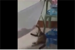 Clip chó cưng đưa võng ru em bé ngủ hút triệu lượt xem