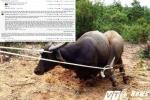 'Trâu điên' tấn công người ở Quảng Trị: Có cần thiết phải giết mấy con trâu?