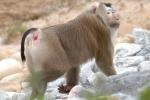 Đà Nẵng xuất hiện con khỉ 'lạ' tấn công, cắn du khách