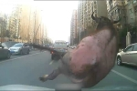 Suýt bị giết thịt, trâu điên xổng lò mổ húc thủng ngực người đàn ông
