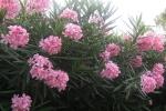 Bộ Y tế đề nghị chặt bỏ ngay cây hoa chứa chất độc ở trường học