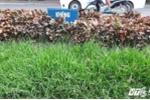 Hà Nội cắt cỏ hàng trăm tỷ đồng: 'Phải điều tra lãnh đạo, chứ dừng cắt cỏ công nhân chết đói'