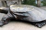 Ngỡ ngàng hai con 'rùa Hồ Gươm' khổng lồ ở Tây Viên Tự
