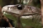 Loài rắn 'ác mộng châu Phi' tử chiến với chồn