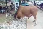 Clip: Dê tí hon đối đầu bò khổng lồ và cái kết ngoạn mục