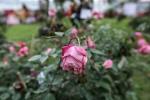 Bị chê tơi bời, ban tổ chức lễ hội hoa hồng Bulgaria phải giải trình