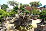 'Siêu cây cảnh' tiền tỷ hạ giá, bán rong trên phố Hà Nội