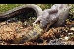 Trăn Anaconda - quái vật khổng lồ, hung bạo nhất hành tinh