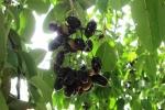 Trái trâm: Loại trái cây