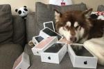 Con trai đại gia 'đốt tiền' mua loạt iPhone 7 cho cún cưng