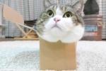Cười vỡ bụng clip mèo mập cố ních người vào chiếc hộp bé xíu