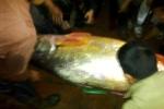 Đại gia bí ẩn mua con cá 1,5 tỷ đồng ở Thái Bình nhanh như chớp
