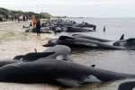170210103111-01-whale-stranding-new-zealand-exlarge-169