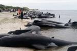 Hàng trăm cá voi mắc cạn bí ẩn ở New Zealand chỉ sau một đêm