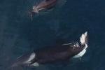 Clip: Kinh hãi khoảnh khắc cá voi sát thủ 'làm thịt' cá mập