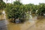 500 gốc mai bị triều cường nhấn chìm ở Sài Gòn