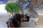 Chó pitbull xấu hổ giấu mặt vào tường khi bị chủ hỏi tội