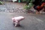 Nghị lực của chú lợn chỉ có 2 chân vẫn tập đi