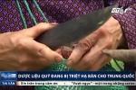 Dân Lạng Sơn đua nhau triệt hạ dược liệu quý bán cho Trung Quốc