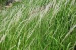 Rễ cỏ tranh: Vị thuốc quý từ 2000 năm trước nhiều người lãng quên