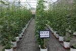 Nghiên cứu mô hình trồng dưa lê Hàn Quốc trong nhà màng cải tiến tại Vĩnh Phúc