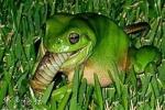 Kỳ dị loài ếch xanh ngấu nghiến ăn thịt rắn độc