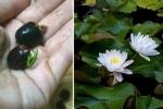 Dân Hà Thành mê mẩn hoa sen mini 7 màu giá cực chát
