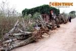 Đào rừng tiền triệu đổ đống ven đường