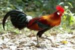 Săn đồ biếu sếp dịp Tết Nguyên đán: Lặn lội 350km mua gà rừng lông ngũ sắc