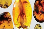 Phát hiện tắc kè hoa hóa thạch hổ phách 99 triệu năm tuổi