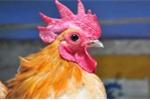 Nhà giàu Hà Nội nuôi gà 'quý tộc' giá hàng chục triệu đồng trên sân thượng
