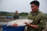 Thú vị chuyện nuôi cá thành 'lực sĩ' trên sông Kinh Thầy