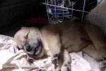 Clip: Chú chó bị cẩu tặc quay lại trả thù giết chết sau vài ngày trốn thoát về nhà