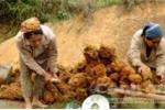 Đổ xô săn thần dược đại ngàn tây Nghệ An