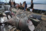 Cận cảnh cá khổng lồ sa lưới ngư dân