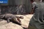 Video: Bắt cá sấu gần nửa tấn bằng thòng lọng