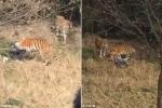 Trung Quốc: Vợ kinh hãi nhìn chồng bị hổ dữ vồ chết trong sở thú