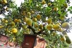 Cận cảnh cây bưởi 200 quả, giá 40 triệu đồng ở Hà Nội