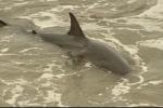 Cá mập trắng lớn vùng vẫy gây náo loạn bờ biển Mỹ