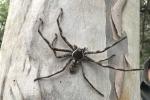 Cận cảnh nhện khổng lồ, dài đến 16 cm ở Australia