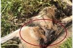 Trăn khổng lồ chết vì 'hóc' chuột túi