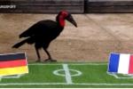 Chim tiên tri Nelson gây sốc: Đoán chính xác 4 trận tứ kết, 2 trận bán kết Euro 2016