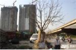Thêm hàng loạt cây xanh chết khô trên phố Hà Nội