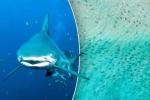 Kinh hoảng hình ảnh 10.000 con cá mập bất ngờ vây kín bờ biển