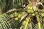 Nông dân đổi đời, kiếm tiền tỷ nhờ tận dụng 'rác' của quả dừa
