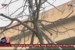 Hàng loạt cây xanh ở Hà Nội mới trồng đã chết khô