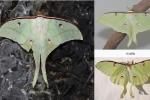 Xuất hiện bướm lạ chưa từng thấy tại Hà Tĩnh
