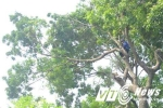 Hà Nội dịch chuyển 106 cây xà cừ ven hồ Thủ Lệ làm tàu điện ngầm