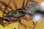 Cận cảnh hóa thạch nhện 99 triệu năm tuổi