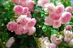 Hướng dẫn cách trồng hoa hồng leo đúng chuẩn